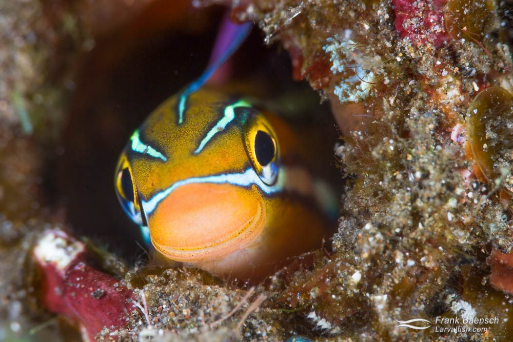 A curious bluestriped fangblenny (Plagiotremus rhinorhynchos) peeks out of its den. Indonesia.