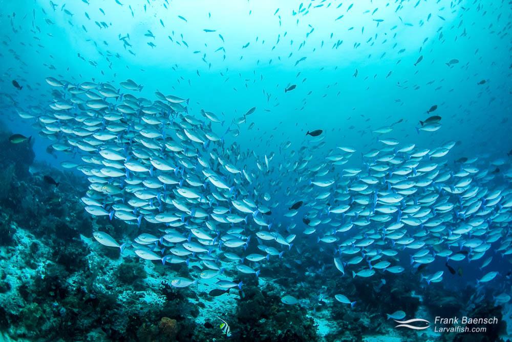 Bluetail unicornfish (N. caeruleacauda) schooling on a deep reef in Indonesia.