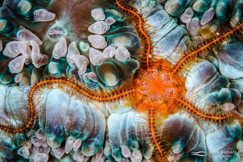 A bright orange bristle star on a soft coral. Tonga.