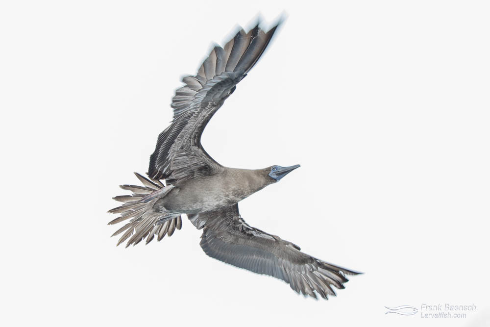 Flying brown booby  under white sky. Costa Rica.