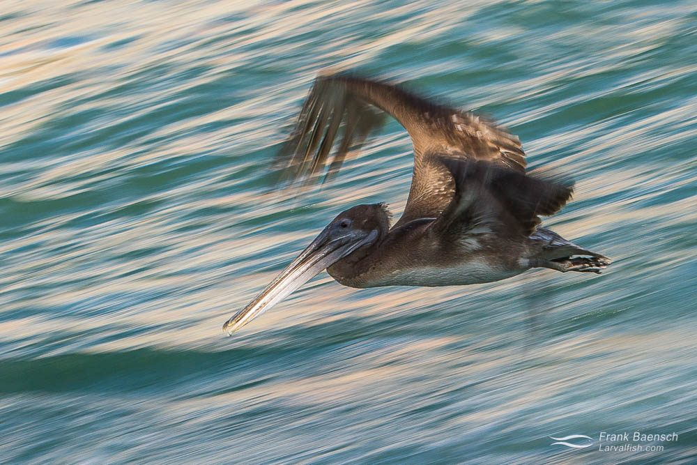 A brown pelican (Pelecanus occidentalis) flying over water in the late afternoon. Socorro.