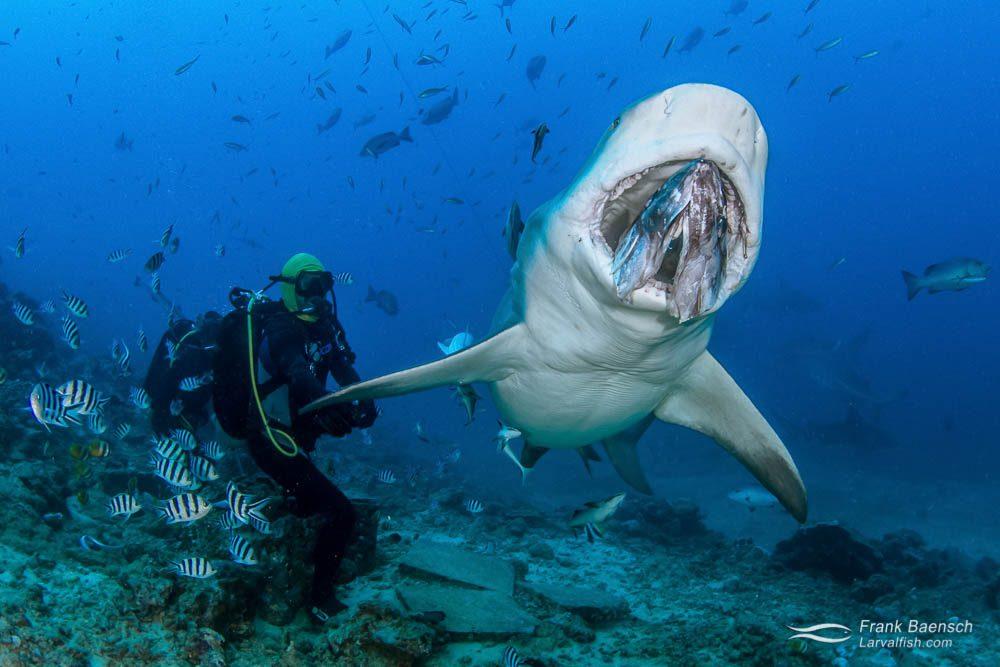 Diver feeds bull shark (Carcharhinus leucas) on a shark dive in Fiji.