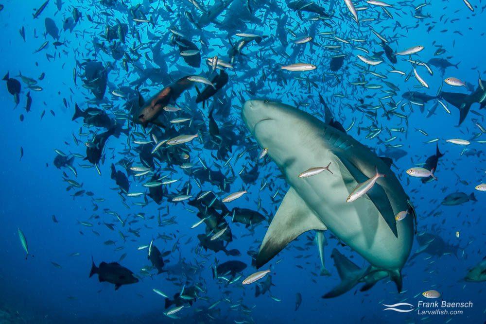 Bull shark (Carcharhinus leucas) among  reef fish.  Fiji.
