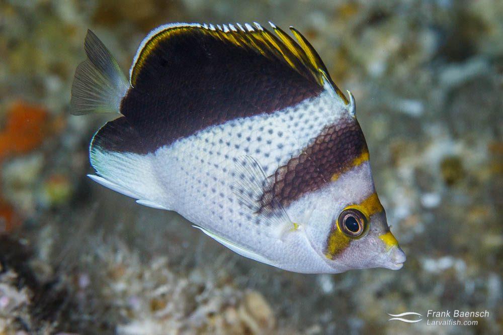 A rare burgess butterflyfish (Chaetodon burgessi). Palau.