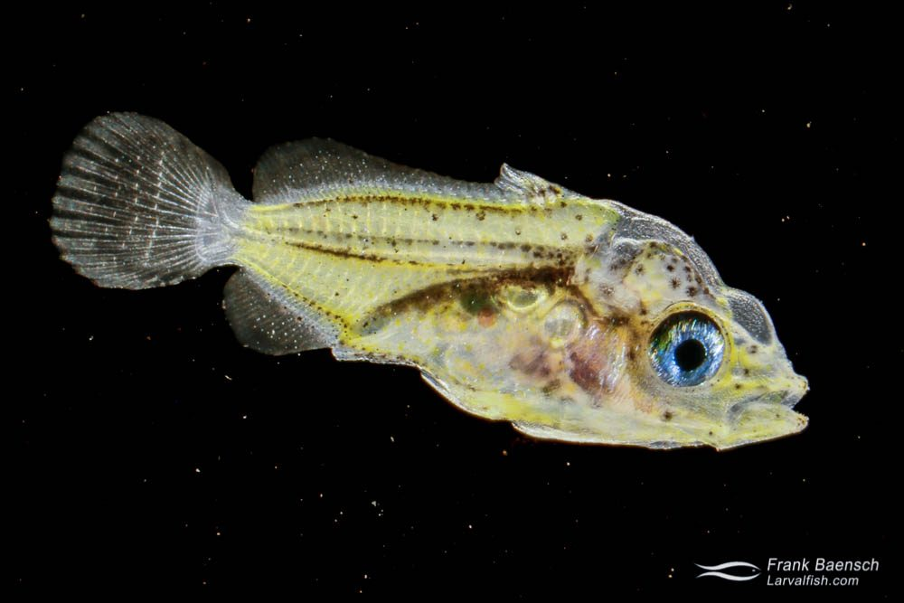 Cultured butterflyfish (Chaetodontidae) larva; 20 dph - 6.6 mm TL. Hawaii.