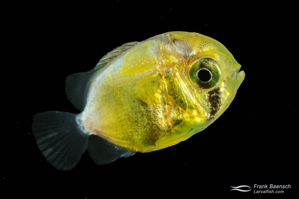Butterflyfish larva - 14.6 mm TL. Papua New Guinea.