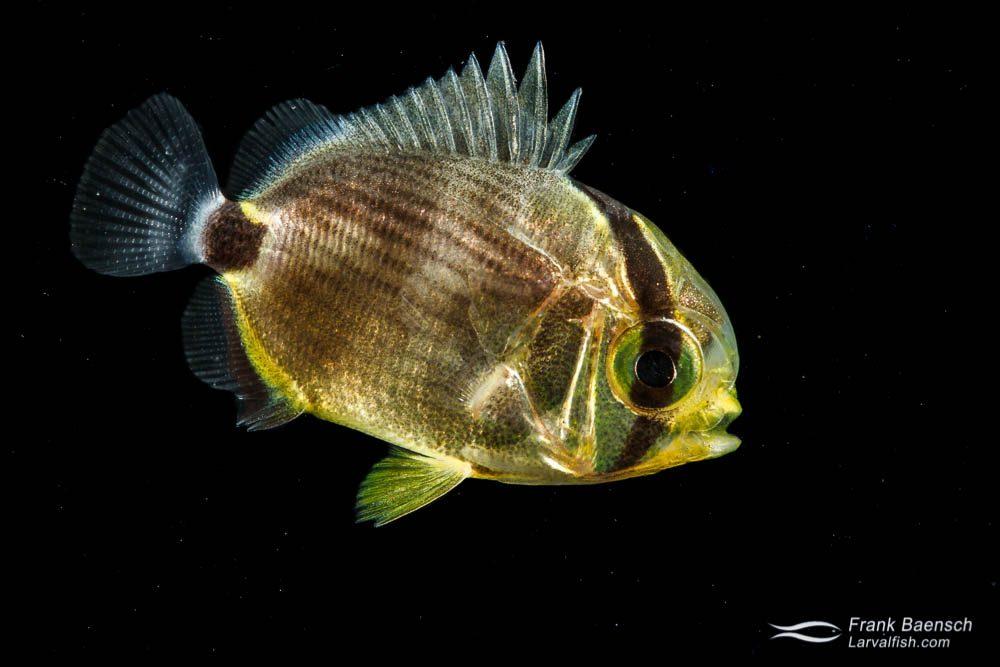 Butterflyfish larva -19.9 mm TL. Papua New Guinea.