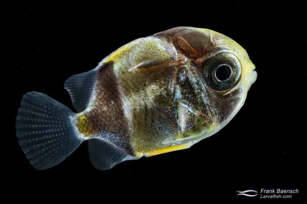 Butterflyfish larva - 17 mm TL. Indonesia.