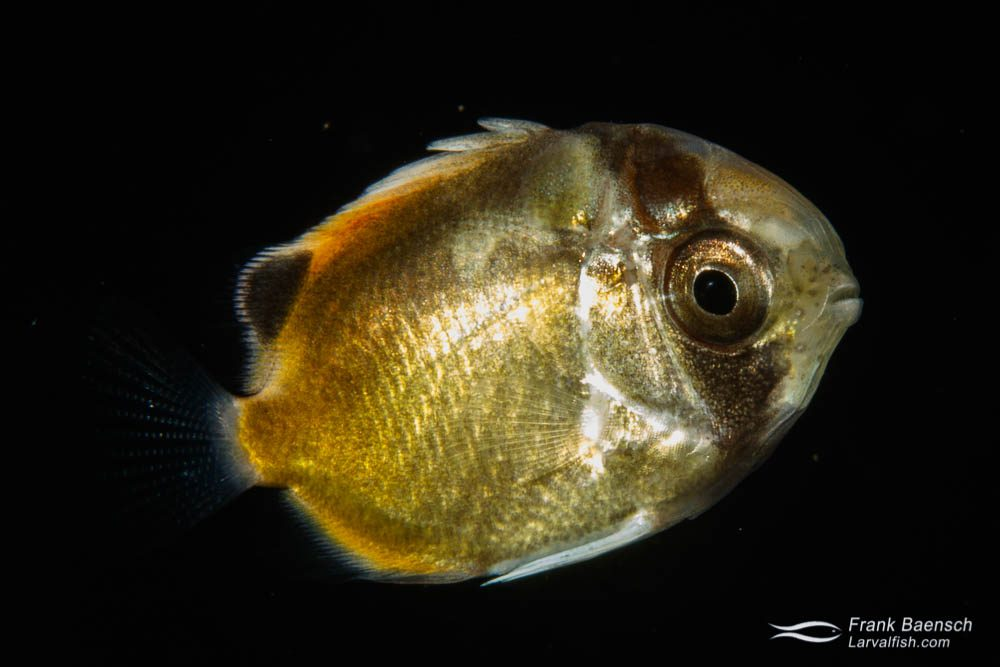 Butterflyfish larva on blackwater dive in Palau.