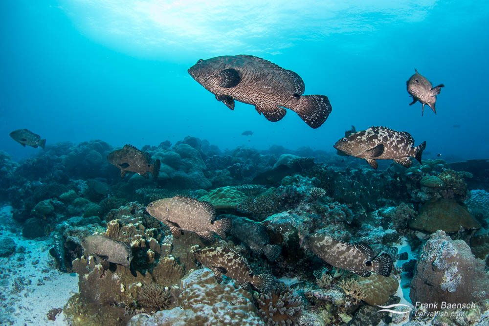 Camouflage groupers (Epinephelus polyphekadion) aggregate to spawn on a reef in Palau.  Camouflage grouper spawning aggregations have also been reported from Fiji, Indonesia, Malaysia, Solomon Islands, Tahiti and the Seychelles.