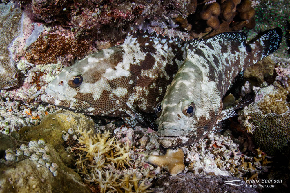 Camouflage grouper (Epinephelus polyphekadion) pair moments after spanwing. Where's the cigarette? v