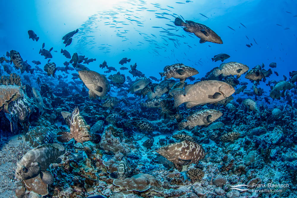 Huge spawning aggregation of camouflage groupers (Epinephelus polyphekadion) in Fakarava South Pass (Tetamanu Pass), French Polynesia.