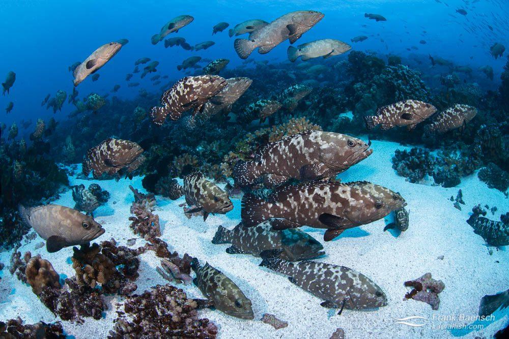 Camouflage groupers (Epinephelus polyphekadion) aggregate in Fakarava South Pass (Tetamanu Pass), French Polynesia.