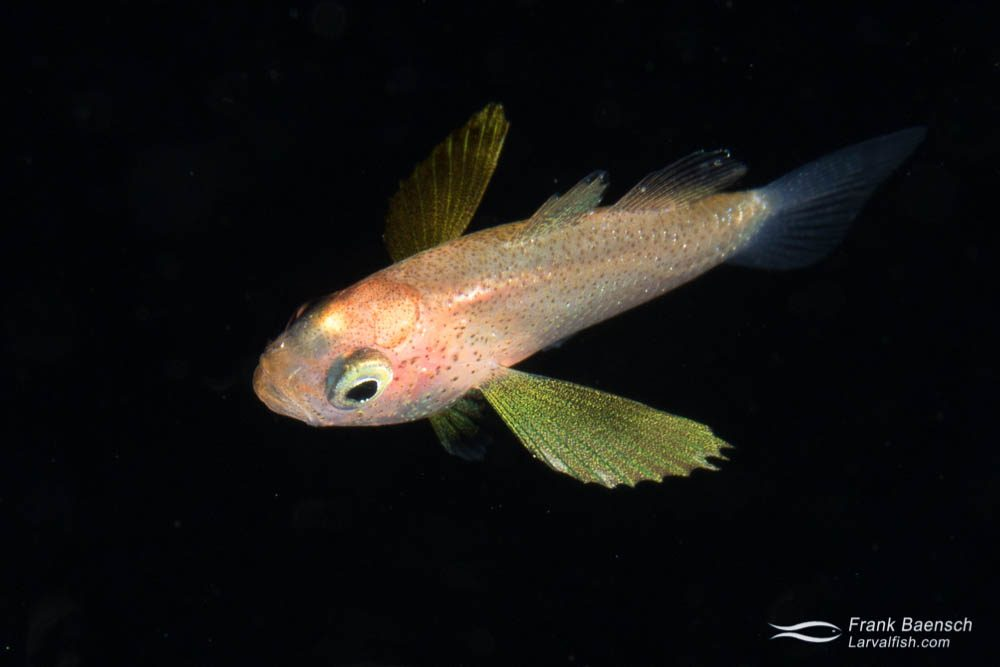 Cardinalfish (Apogonid) on a blackwater dive in Palau.