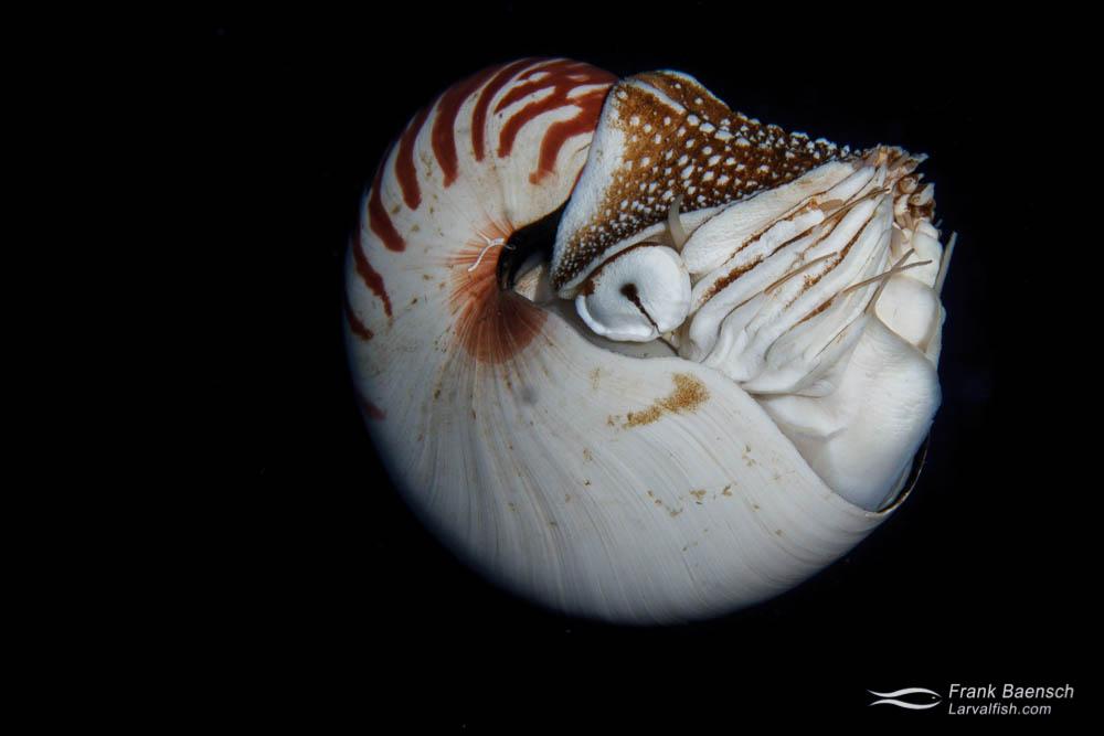 Chambered nautilus (Nautilus pompilius). Papua New Guinea.