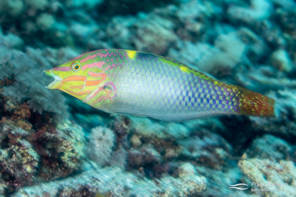 A checkerboard wrasse (Halichoeres hortulanu) races across the reef. Solomon Islands.