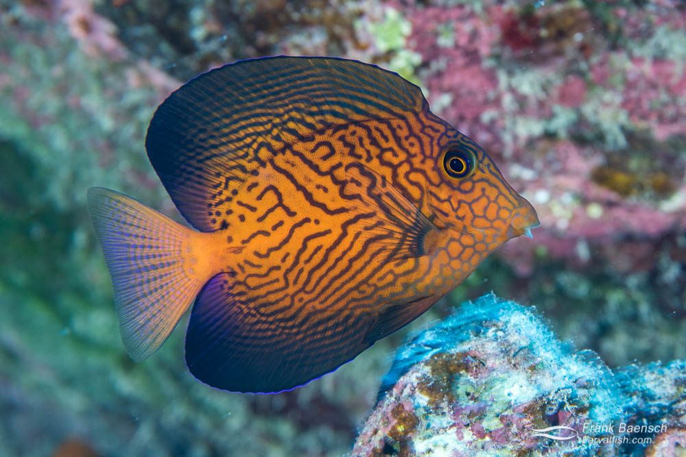 The gorgeous juvenile Chevron tang, also know as Hawaiian bristletooth (Ctenochaetus hawaiiensis), is a popular aquarium fish. Adult chevrons are less attractive, which make them less desirable aquarium additions. Hawaii.