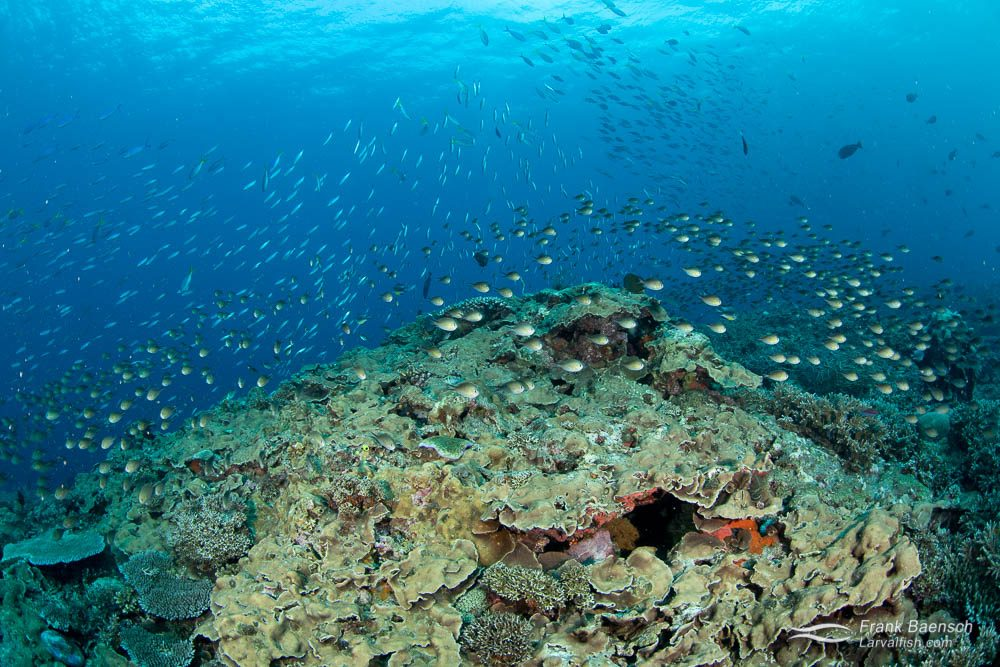Chromis schooling on a reef in the Solomon Islands.