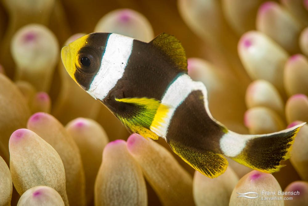 Juvenile Clark's anemonefish (Amphiprion clarkii). Fiji.