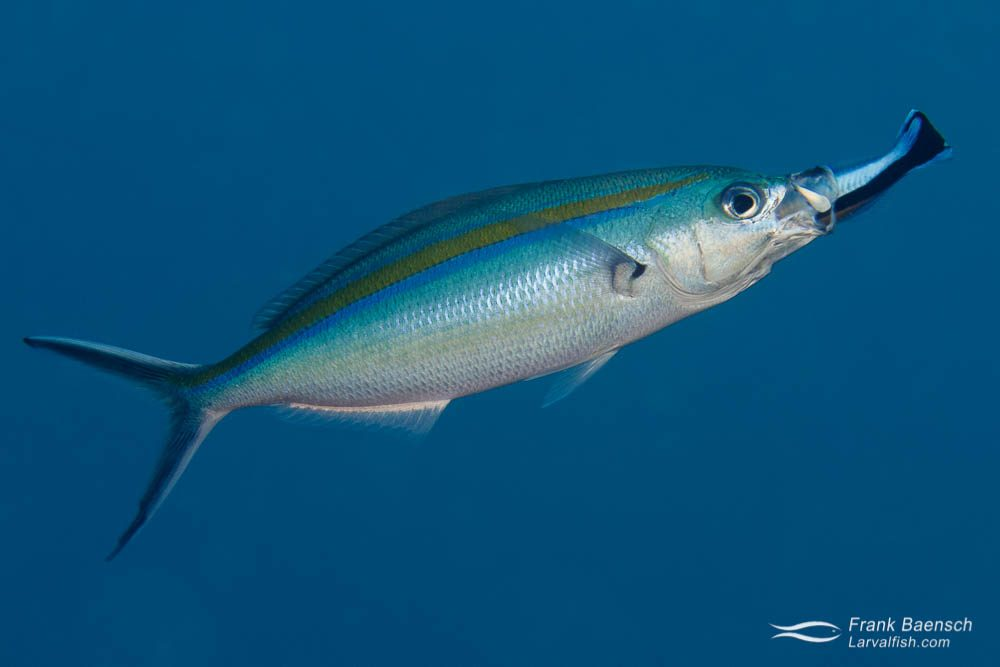 Bluestreak cleaner wrasse (Labroides dimidatus)  tending to bluestreak fusilier (Pterocaesio tile). Palau.