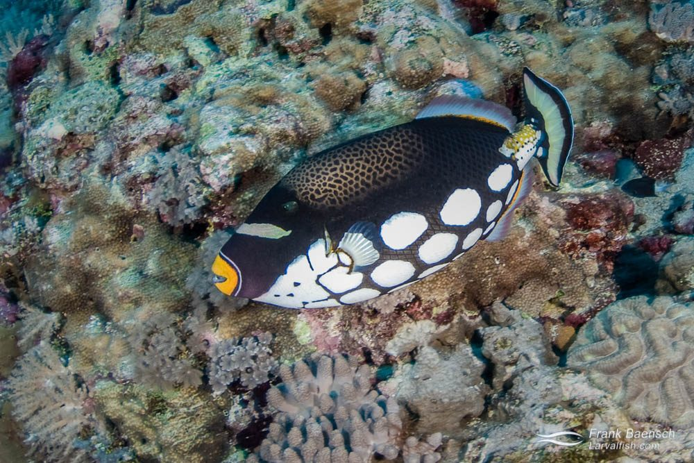 A clown triggerfish (Balistoides conspicillum) races across the reef in the Solomon islands.