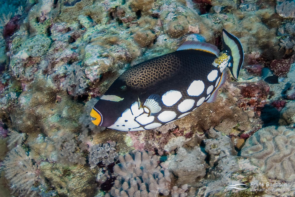 A clown triggerfish (Balistoides conspicillum) races across the reef in the Solomon islands.