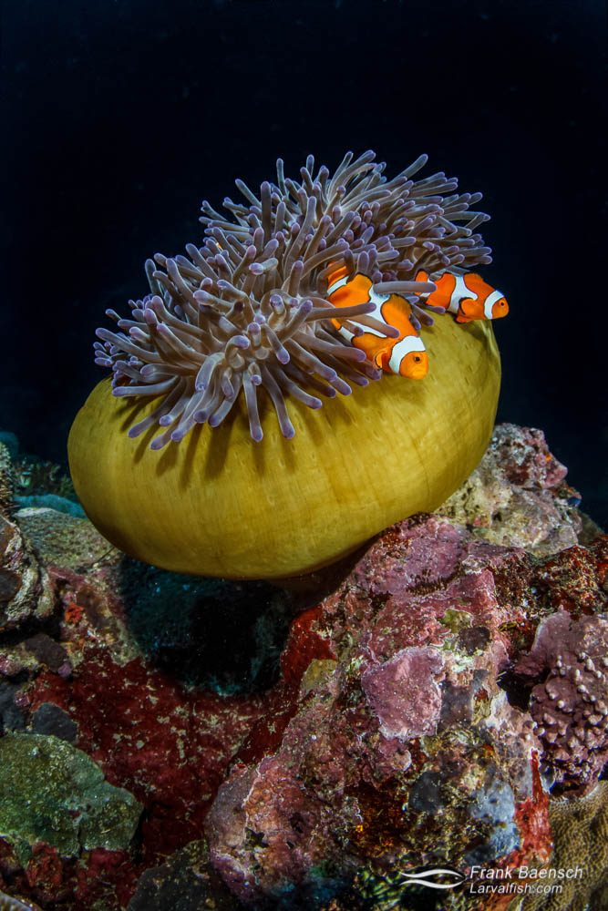False clown anemonefish (Amphiprion oceallaris) in a closed anemone. Papua New Guinea.