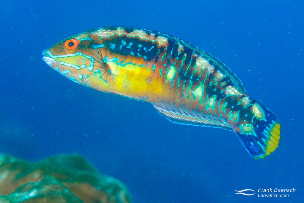 Cocos wrasse (Halichoeres dicolor) (terminal male) - endemic to Cocos Island. Costa Rica.