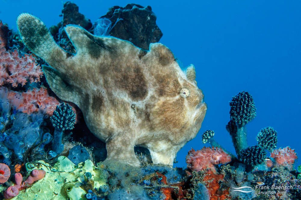 Commerson's frogfish (Antennarius commerson). Philippines.