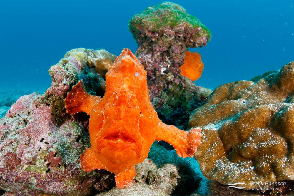 Two orange commerson's frogfish (Antennarius commerson) at Cocos Island. Costa Rica.