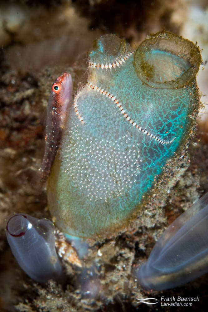 Common ghostgoby (Pleurosicya mossambica) guarding  its nest on top of a tunicate. Indonesia.