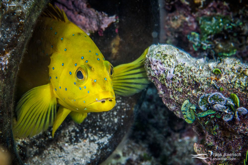 A yellow coney grouper (Cephalopholis fulva) peers out  of an old  pipe on a reef in the Bahamas.