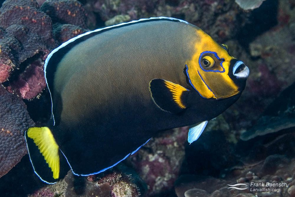 The rare conspicuous angelfish (C. conspicillatus) on a reef at Lord Howe Island.