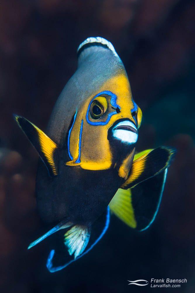 Portrait of the rare conspicuous angelfish (C. conspicillatus) at Lorde Howe Island. Solomon Islands.
