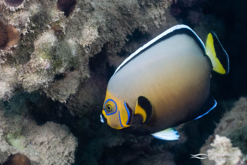 Conspic angelfish (Chaetodontoplus conspicillatus). Lord Howe Island. An epic aquarium fish. Now available as captive-bred.