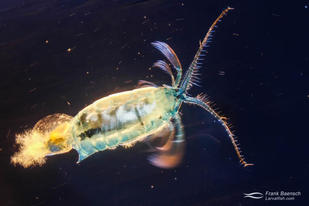 Swimming pelagic marine copepod (5.7 mm). Hawaii.