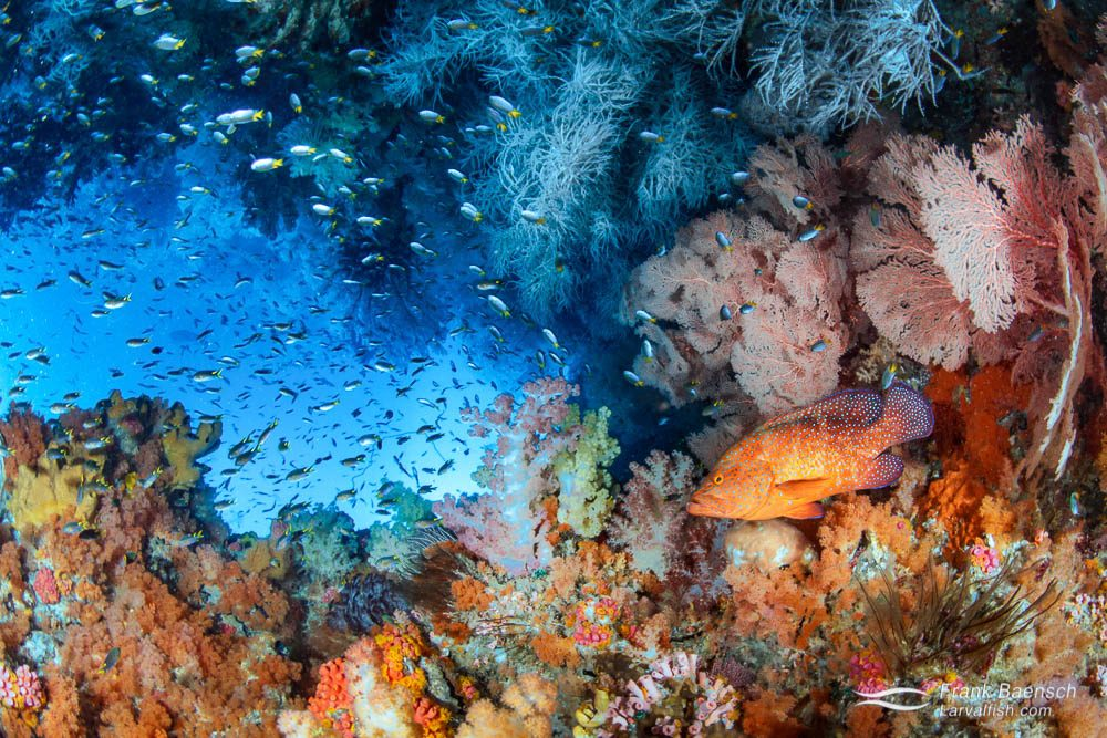 Coral grouper (Cephalopholis miniata) soft coral reef scene. Indonesia.