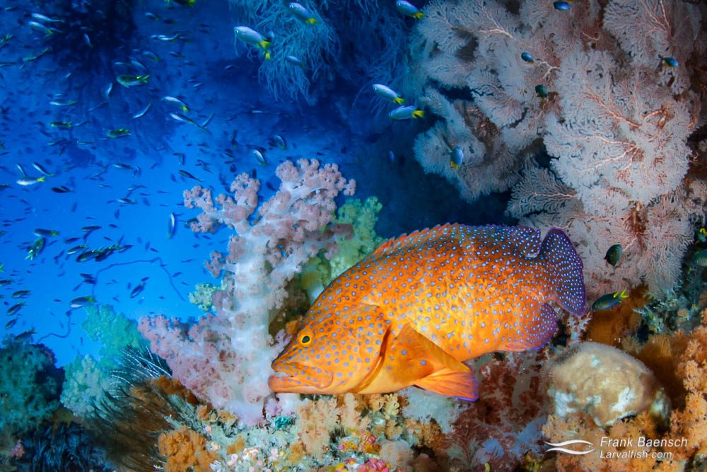 Don't mess with my reef! A coral grouper (Cephalopholis miniata) in his soft coral garden. Indonesia.