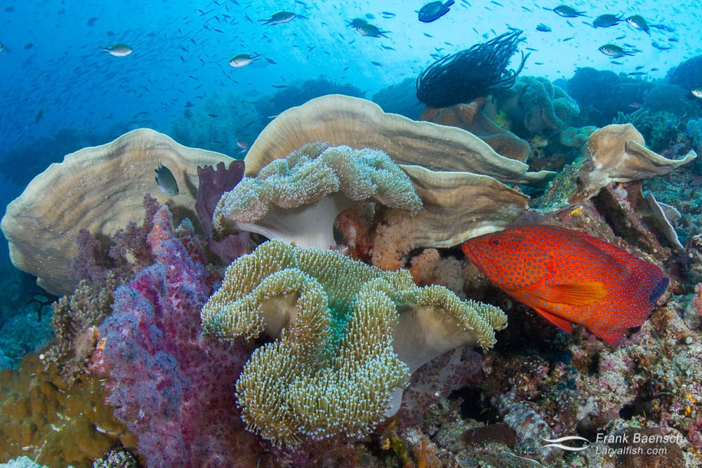 Coral grouper (C. miniata) about to hide in a mushroom leather coral. Indonesia.