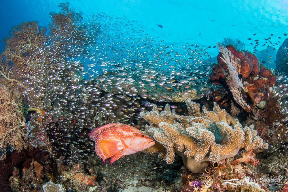 Coral grouper (Epinephelus corallicola), schooling glass fish reef scene. Indonesia.