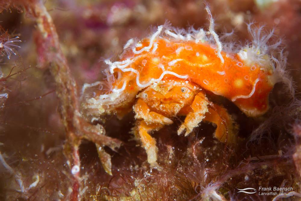Decorator crab. Indonesia.