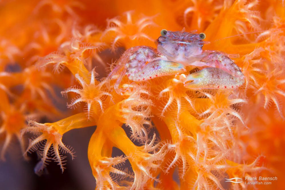 Crab on dendronephthya soft coral. Indonesia.
