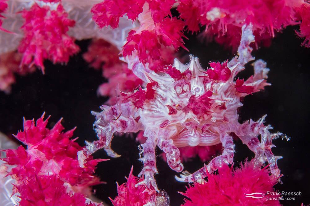 Soft coral crab (Hoplophrys oatesi). Indonesia.