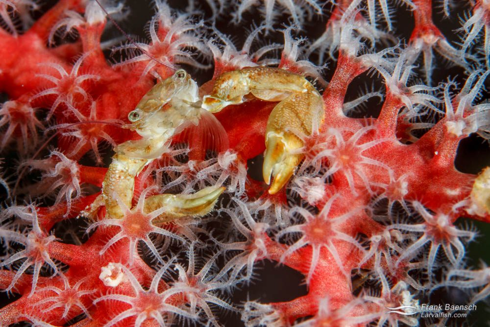Crab on a softcoral. Papua New Guinea.