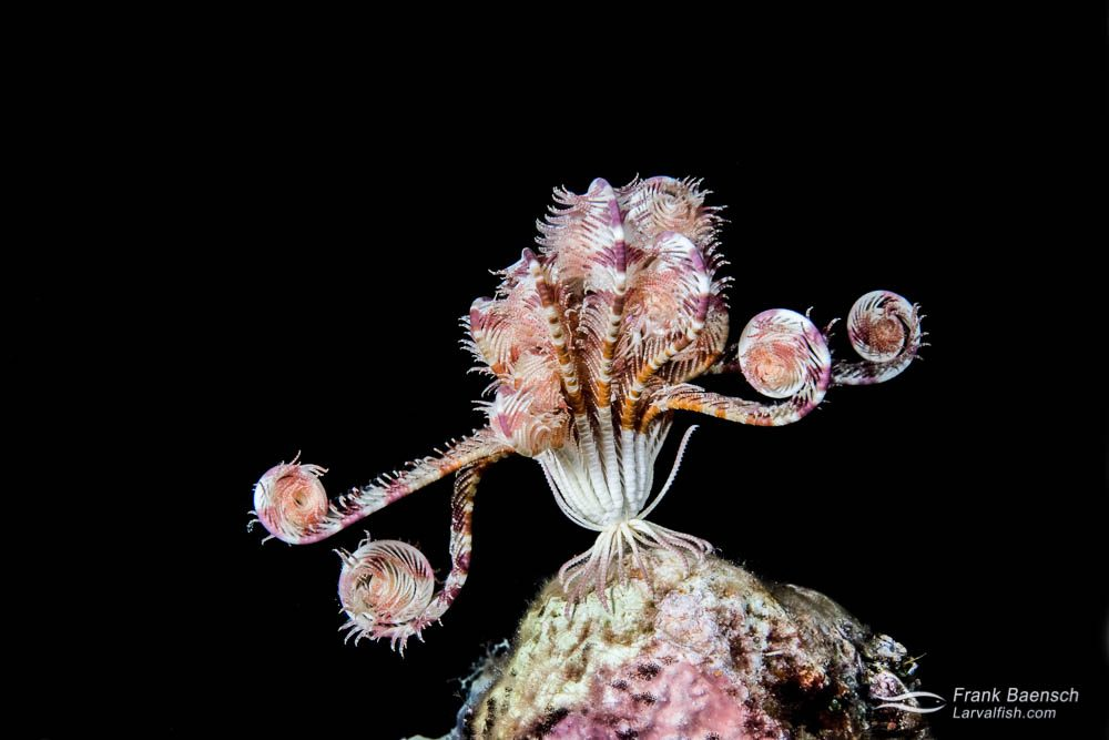 A crinoid (Crinoid sp) looking stylish at night. Indonesia.