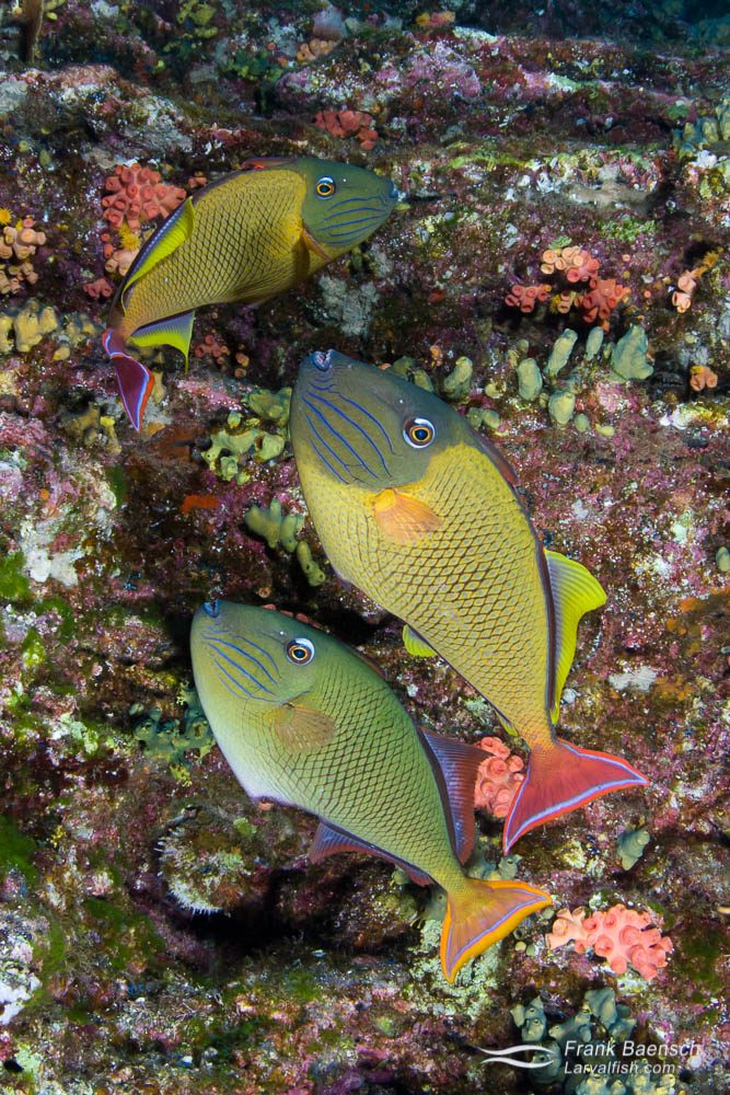 Crosshatch triggerfish (Xanthichthys mento) trio (males have red tail) next to crevice in a sea cliff off Socorro.