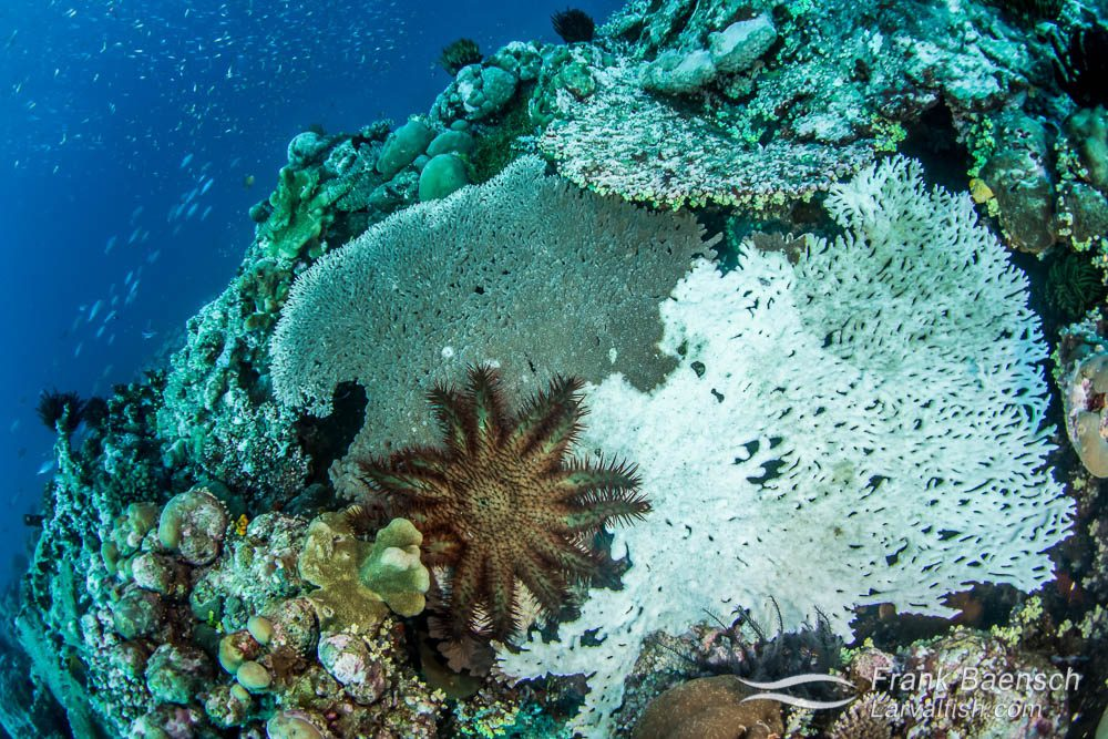 Crown-of-thorns sea star (Acanthaster planci) feeding on a table coral (Acropora sp.) in Papua New Guniea.