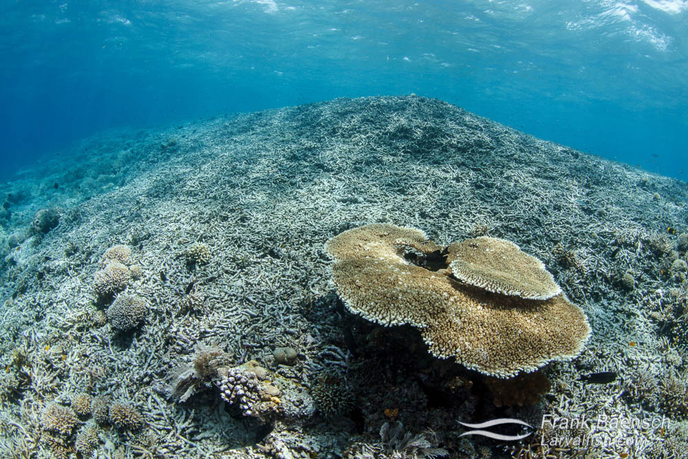 Severely damaged coral reef in Raja Ampat, Indonesia.