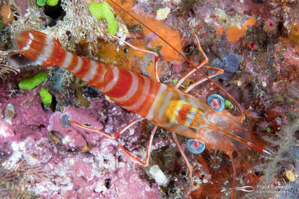 Green-eye dancing shrimp (Cinetorhynchus sp.). Fiji.