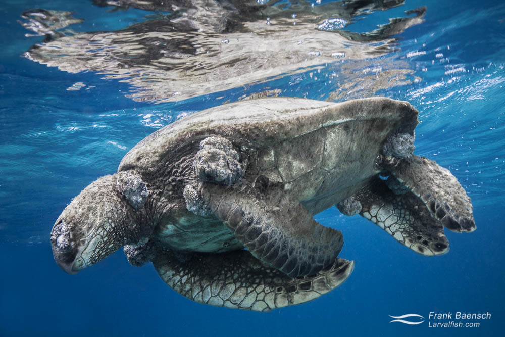 Dead green sea turtle with fibropapilloma floating on the surface in Hawaii.